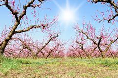 Orchard Of Peach In March Stock Images