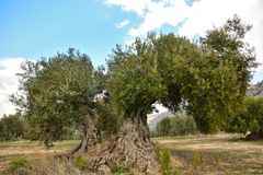 Orchard of olive trees Royalty Free Stock Photos