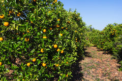 Orchard with orange trees Royalty Free Stock Photos