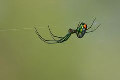 Orchard orb weaver Stock Photo
