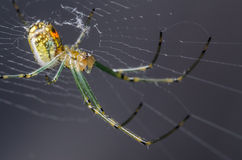 Orchard Orb Weaver. Small Orchard Orb Weaver Spider on it's Spider Web Royalty Free Stock Images
