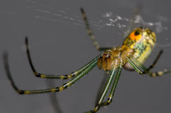 Orchard Orb Weaver. Spider on it's Web Stock Photos