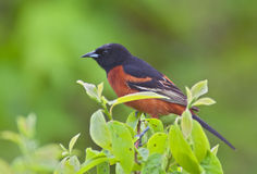 Orchard Oriole. Perched with green background Royalty Free Stock Photo