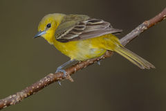 Orchard Oriole Royalty Free Stock Images