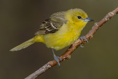 Orchard Oriole Stock Image