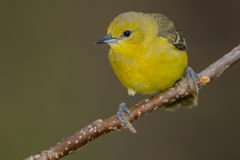Orchard Oriole Stock Images