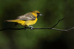 Orchard Oriole (First-summer male) Stock Photography