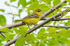 Orchard Oriole Royalty Free Stock Photos