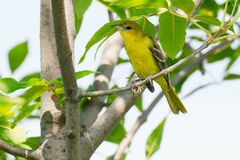 Orchard Oriole Stock Photography