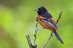 Orchard Oriole. Perched with green background Stock Image