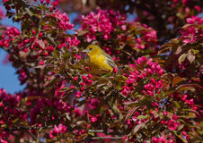 Orchard oriole with pink blossoms. A yellow female bird icterus spurius perching among brilliant pink flowers of blossoming crab apple tree during spring bird Stock Photos
