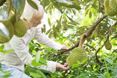 Orchard owner and durian tree. royalty free stock images