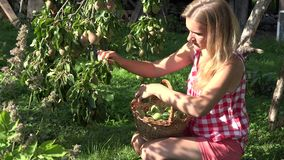 Orchard owner gather pear fruit in garden at summer day. 4K stock video footage