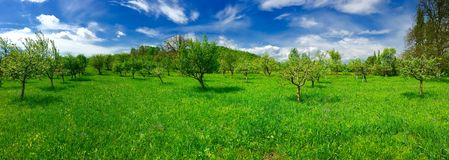 Orchard panorama. Green orchard landscape panorama with blue sky in spring time Royalty Free Stock Images