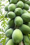Orchard Papayas Stock Photography
