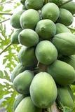Orchard Papayas Stock Photography