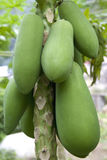 Orchard Papayas Royalty Free Stock Photo