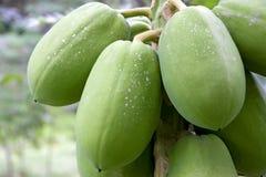 Orchard Papayas. Image of papayas growing in an orchard Royalty Free Stock Photo