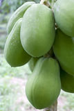 Orchard Papayas Royalty Free Stock Photos