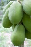 Orchard Papayas Royalty Free Stock Photos