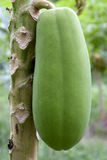Orchard Papayas Stock Images