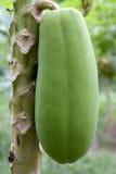 Orchard Papayas Stock Images