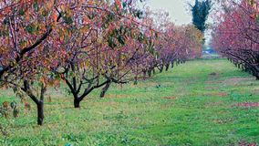 Peach biologic natural on the plant in the winter. Orchard peach plants in the winter stock photos