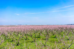 Orchard of peach trees bloomed in spring Stock Image