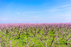 Orchard of peach trees bloomed in spring Royalty Free Stock Photography