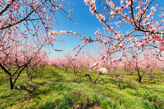 Orchard of peach trees bloomed in spring. Selective focus image. Stock Photos