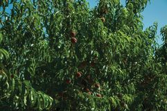 Orchard with peach trees laden with ripe fruits. Verdant orchard with peach trees laden with ripe fruits on a small farm, in a sunny day near Belmonte. A cute stock image