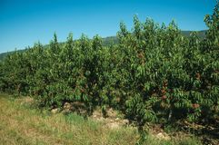 Orchard with peach trees laden with ripe fruits. Verdant orchard with peach trees laden with ripe fruits on a small farm, in a sunny day near Belmonte. A cute stock photos
