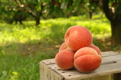 Orchard peaches Stock Images