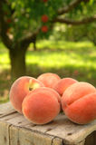 Orchard peaches Royalty Free Stock Images