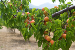 Orchard with peaches Stock Photos