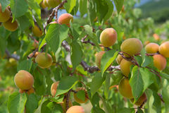 Orchard with peaches Royalty Free Stock Images