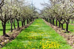 Orchard of plum trees. Rows of plum trees in an orchard Royalty Free Stock Photos