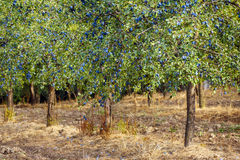 Orchard of plum trees Stock Images