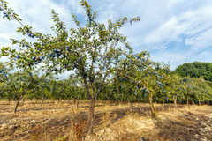 Orchard of plum trees Royalty Free Stock Photo