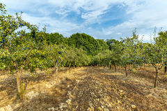 Orchard of plum trees. Trees full of blue plums in an orchard at harvest time Royalty Free Stock Photo