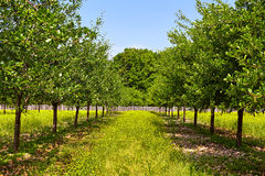 Orchard of plum trees Royalty Free Stock Image