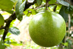Orchard Pomelo Stock Photography