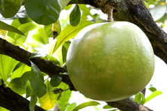 Orchard Pomelo Stock Image
