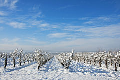 Orchard Projected On Snow Field Stock Photography