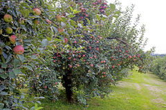 Orchard or red apples hanging on a tree. Stock Image