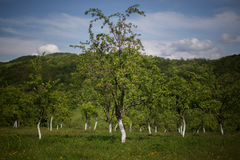 Orchard in Romania Stock Image