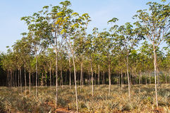 Orchard rubber. And pineapple trees in Thailand royalty free stock photography