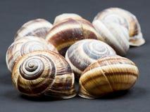 Orchard snail (Helix pomatia) - shell Stock Photos