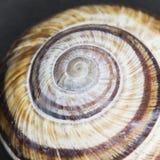Orchard snail Helix pomatia - shell Stock Image