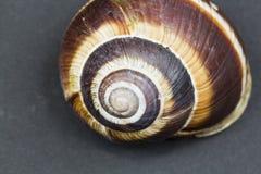 Orchard snail -Helix pomatia shell. Rchard snail -Helix pomatia - shell with dark background Royalty Free Stock Photo